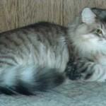 Сибирская кошка: Голубой тигровый табби