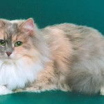 Сибирская кошка: Голубокремовый Табби с Белым