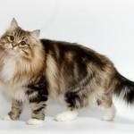 Сибирская кошка: Табби