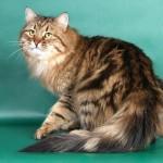 Сибирская кошка: Черный мраморный табби