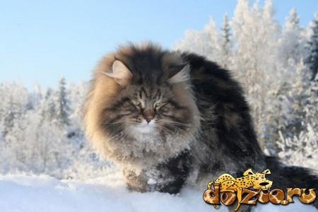 Породистый сибирский кот