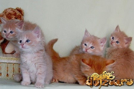 Разноцветные сибирские котята