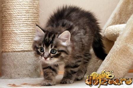Уголок сибирского котенка