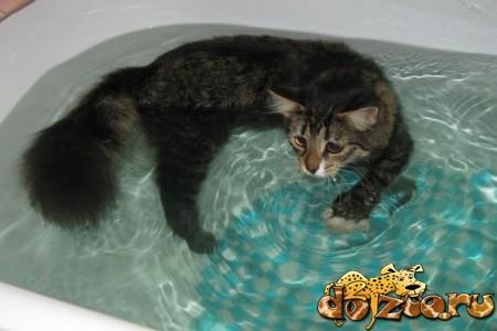 Купание сибирской кошки