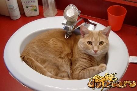 Купание кота скоттиш страйт