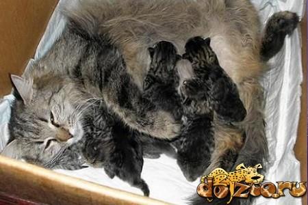 Сибирская кошка с котятами