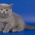 Дымчатый котенок скоттиш страйт