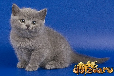 Дымчаты кот порода