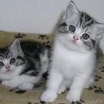 Два котенка скоттиш страйт