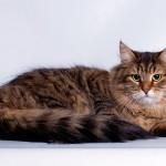 Сибирская пятнистая кошка