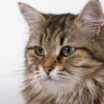 Задумчивая сибирская кошка