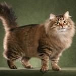 Красивая сибирский котенок