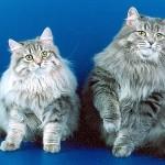 Пара сибирских кошек