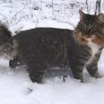 Зимняя прогулка с сибирской кошкой