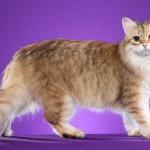 Кремовая сибирская кошка