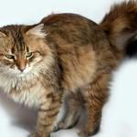 Настороженная сибирская кошка