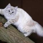 Сибирская кошка на дереве