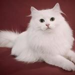 сибирская кошка белая фото