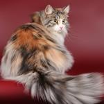 сибирские кошки окрасы фото