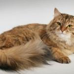 фотки сибирских кошек