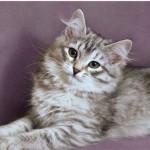 Сибирская кошка тигровая