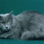 кошка сибирская голубая фото