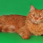 сибирская рыжая кошка фото