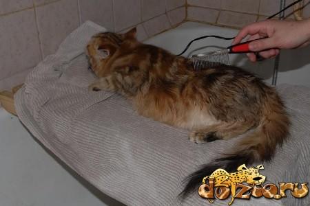Вычесывание сибирской кошки