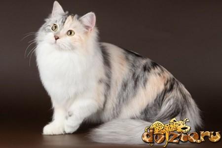 Красивая сибирская кошка