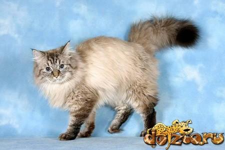Сибирская маскарадная кошка