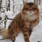 Сибирский кот зимой