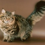 Окраска табби сибирской кошки