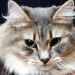 Серьезный кошачий взгляд сибирской кошки