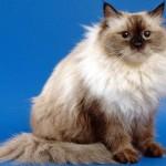 Маскарадная сибирская кошка