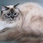 Серьезный сибирский кот
