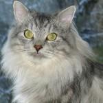 Желтоглазая сибирская кошка