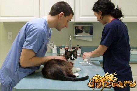 Скоттиш страйт у ветеринара